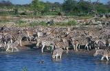 Large zebra herd takes over Okaukuejo