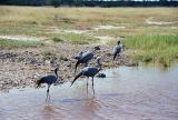 Blue cranes, Etosha