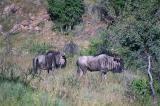 Wildebeest, Daan Viljoen Game Park, Windhoek