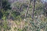 The rare Roan antelope in the thick bush, Waterberg