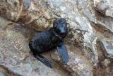 A newborn seal, Cape Cross