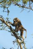 Olive Babo_24298526=Baboon