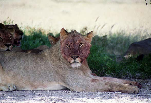 Bloody faced lions, Wolfsnes, Etosha. They do smell quite bad!