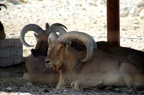 Barbary Sheep, Al Areen