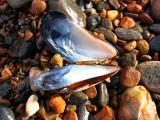 Mussel Shell with Reflection