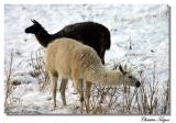 Lamas again