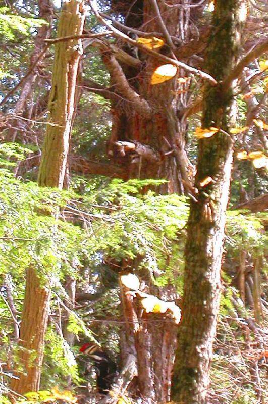 woodpeckers on hemlock tree