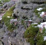Walking Ferns -- Asplenium rhizophyllum L