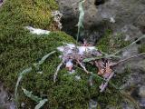 Walking Fern -- Asplenium rhizophyllum L