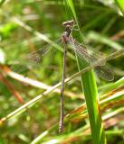 Common Spreadwing -- Lestes sp.