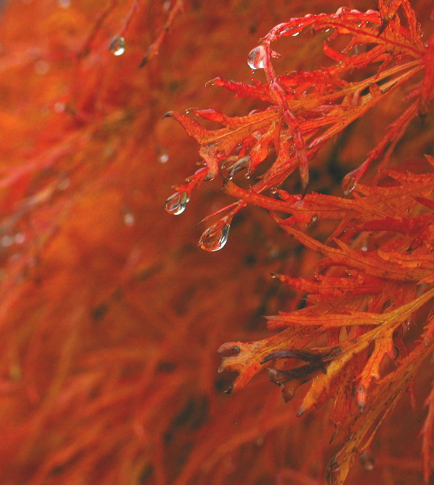 Weeping Japanese Maple *