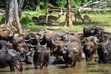 Buffalo-n-Chitals.jpg