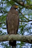 Crested-Serpent-Eagle.jpg