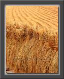 Autumn Rice Harvest
