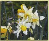 Daffodils ~ Jan, 2004