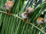 Mono titi or Squirrel Monkeys