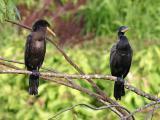 Olivaceous Cormorants