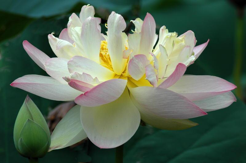 PAD 8/1/04 - Lotus