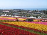 Carlsbad - Flower Fields 2