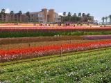 Carlsbad - Flower Fields 3