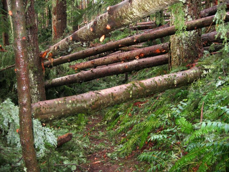 One View Trail<br>Trees prepped for chainsawing</br>