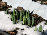 Narcissus Shoots LPCG