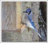 Bluejay on the small-bird feeder