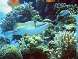 Picaso Triggerfish