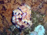 Cute Risbecia Nudibranch