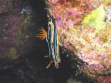 Chromodoris Africana Nudibranch