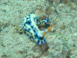 Hypselodoris Infucata Nudibranch