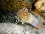 Tube - Dwelling Anemone  Arachnanthus nocturnus