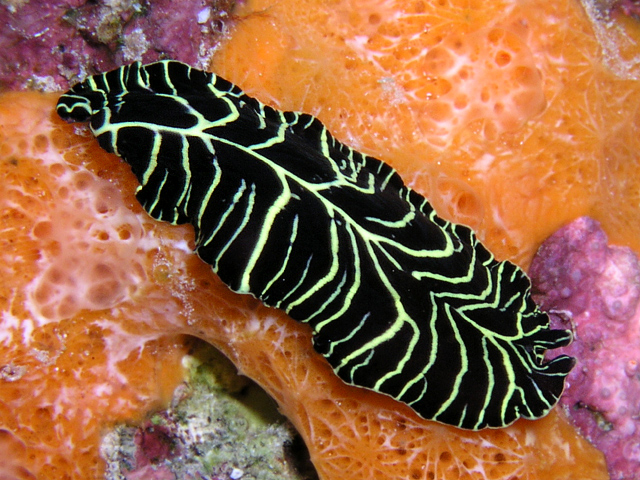 Yellow-Lined Flatworm