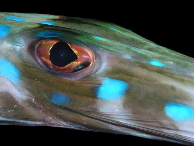 Blue-spotted Cornetfish