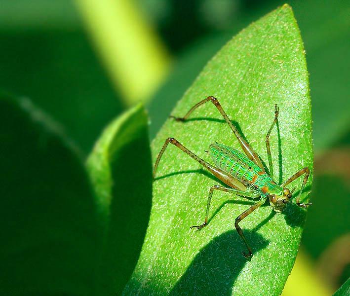 Juvenile Grasshopper I