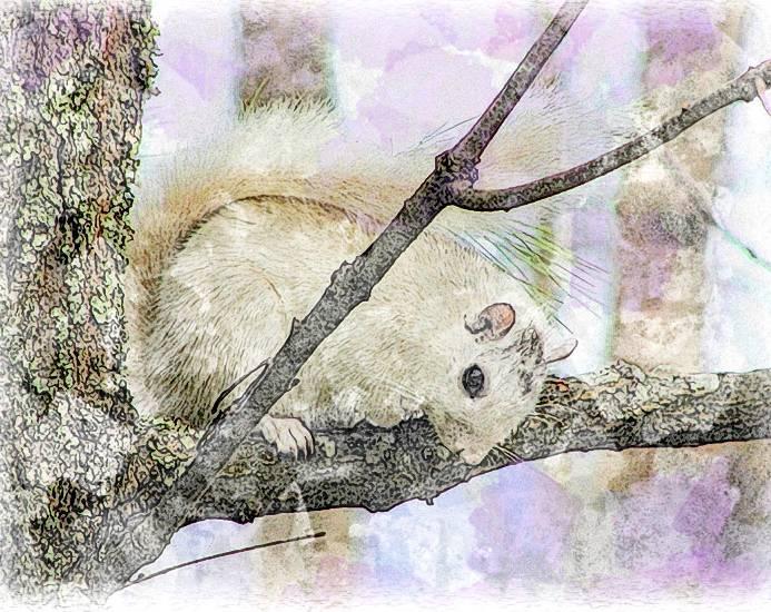 InstaSketch White Squirrel