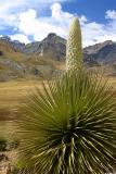 Puya Raymondi Plant