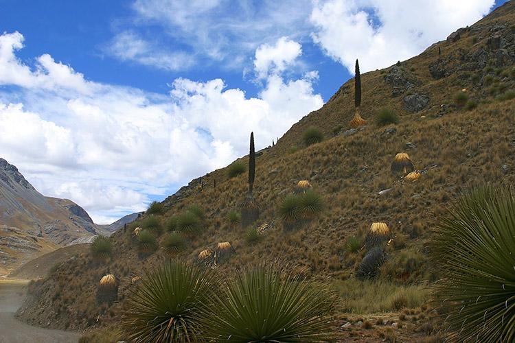 Puya covered hills