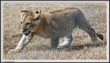 Baby cub - IMG_1732.jpg