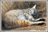 Bobcat - IMG_1737.jpg