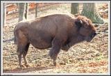 Buffalo - IMG_1834.jpg