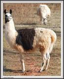 Llama Crop IMG_1808.jpg