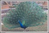 Peacock - IMG_1769.jpg