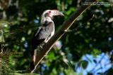 Luzon Hornbill (a Philippine endemic, Male)  Scientific name - Penelopides manillae  Habitat - Forest and edge up to 1500 m.  [with Tamron 1.4x TC, 560 mm focal length]