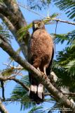 Philippine Serpent-Eagle  (a Philippine endemic)  Scientific name - Spilornis holospilus  Habitat - Forest from lowlands to over 2000 m.   [with Tamron 1.4x TC, 560 mm focal length]