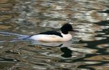 Great merganser (Storskrake)
