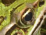 Northern Leopard Frog Crop