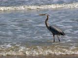 Heron at the Beach 5146