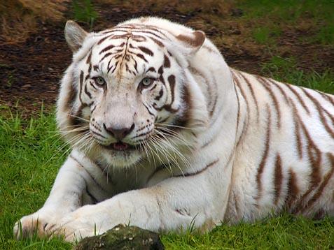 White Tiger 3594