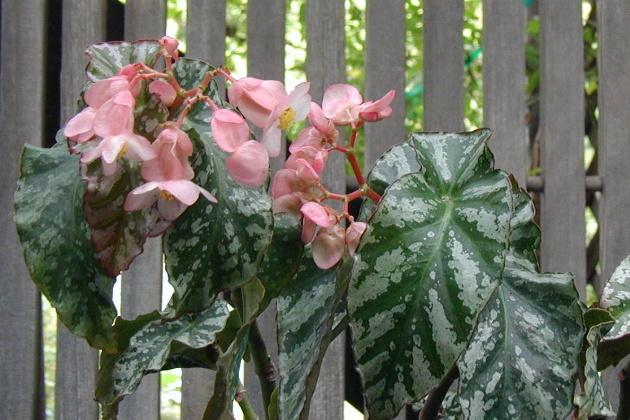 Begonia Dare Devil